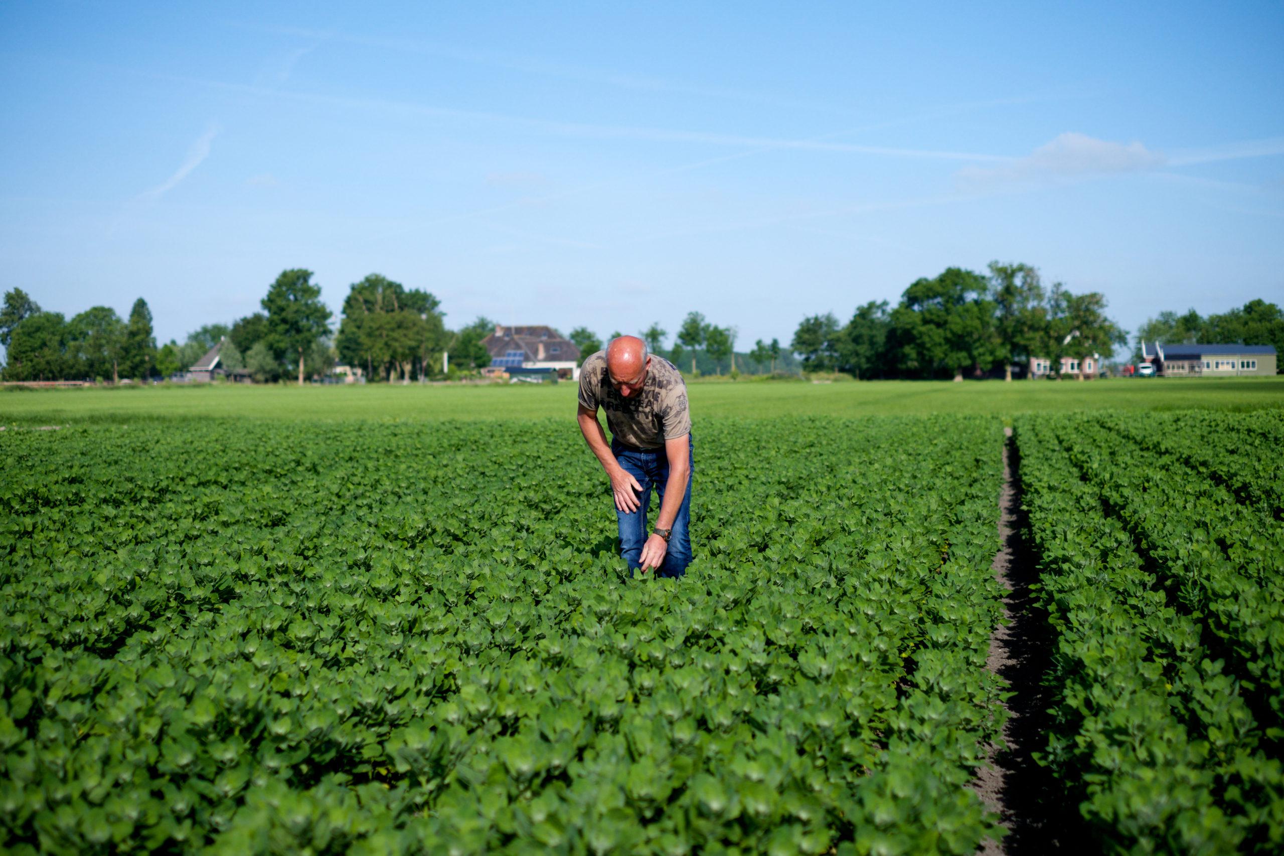 nederlandse quinoa velden oogsten